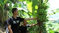 为什么香蕉还没成熟就要砍掉, 这波操作涨见识了
