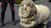 一只羊6年不剪毛, 到底会变成什么样?