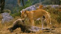 澳洲顶级掠食者 看见什么吃什么 外貌和家犬一样 纯野生就快灭绝