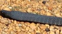 """毒蛇中的""""黑虎"""" 一旦被咬中命就丢了 平头哥求挑战"""