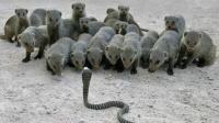 当一条眼镜蛇遇到一群蛇獴, 会发生什么?