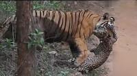 母老虎叢林中捕食豹子