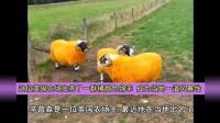 这位英国农场主养了一群橘颜色绵羊 成为当地一道风景线