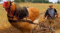 """世界上最大的鸡 身高1米多 被称为""""家禽之王"""""""