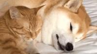感情超好的橘猫和柴犬, 睡觉都要秀恩爱