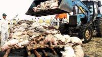 内蒙古河南各发生一起非洲猪瘟疫情