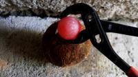 把烧成1000度的铁球放在椰子上面, 椰子会是什么下场? 一起见识下