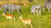 斑马持续攻击小羚羊, 下脚力气超大, 羚羊爸妈疯狂保护!