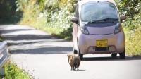 浣熊跑到马路中央玩, 所有车辆都让着它, 网友: 来碰瓷儿的吗