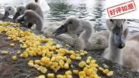 饥饿的小天鹅遇上好心人, 美食的力量绝不是一般的