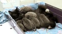 母爱不分种族, 猫咪冒着被扎的风险, 收养了一群小刺猬