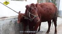 偷狗偷鸡还能忍, 偷牛最让农民们悲痛, 对于偷牛的盗贼你怎么看?