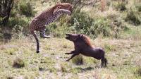 恋爱季节到了, 豹子与疣猪异常凶猛