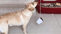 狗狗帮女主人找钱包, 还顺手关上抽屉, 真是懒人必备呀