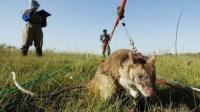 英国老鼠泛滥成灾, 不怕人也不怕猫, 中国吃货也表示无能为力