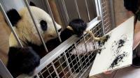 世界第一只会画画的大熊猫, 一幅画3918元, 外国人都争着买