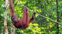 婆罗洲的热带雨林乘船, 寻找人类的近亲红毛大猩猩