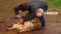 这就是传说中的薅羊毛? 羊表示: 我是谁, 我在哪, 我的皮大衣呢!