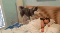 哈士奇被派来叫主人起床, 没想到它在床上躺下来, 跟着一起睡了!