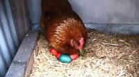 鸡蛋被染成五颜六色放窝里, 母鸡回来秒懵! 母鸡: 蛋坏了?