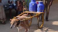 狗狗帮助主人拉车6年, 每天都要运送两大桶牛奶, 风雨无阻