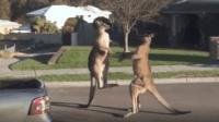 实拍: 两袋鼠争强好胜, 激烈打斗的场面!