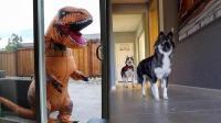 当哈士奇遇到恐龙会怎样? 美女恶作剧, 结果二哈很淡定!