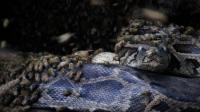 世界上最凶残的蜜蜂, 分分钟干掉蟒蛇, 屠杀过程很平静!