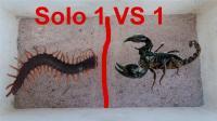 蜈蚣和蝎子同台谁更厉害? 看越南小哥实验后再看见蜈蚣要绕道走!