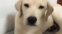 主人要揍拆家的小狗, 狗妈妈: 主人别生气, 我来
