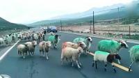 这就是群羊效应! 羊领一呼百应, 群羊俯首随行。场面燃爆了