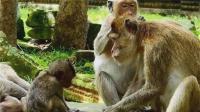 猴妈妈为了给孩子断奶, 狠心推开瘦弱的孩子!