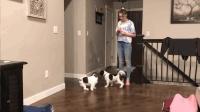 家里有两只超级调皮的狗狗 是怎么样的体验 宠物奇趣搞笑视频