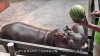 动物吃西瓜, 乌龟最奇葩, 河马最霸气! 张开嘴巴一口一个, 真过瘾