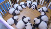 大熊猫: 最萌阵容来袭! 熊猫界的101, 你pick谁