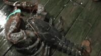 牛人处理大虾的技术真是娴熟利落呀!