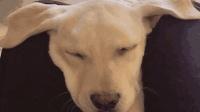 耳朵大真的有福呀, 看这狗睡得多香