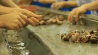 法国一年吃掉30万吨蜗牛, 生产线来得及提供? 看流程你就知道!