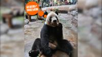 """北京动物园大熊猫吃""""月饼餐"""""""