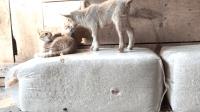 羊一直想找猫咪玩, 猫咪: 我妈不让我和你一起玩!