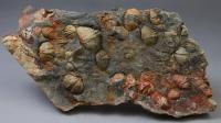 在四川这个地方发现弓石燕化石? 据推算恐龙或许比它晚出现1.5亿年