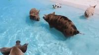 这是世界上最幸福的猪? 独占一座小岛, 没事就去海里游泳