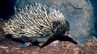 最古老哺乳动物之一 这可不是刺猬 天生自带反伤护甲