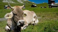 印度有500万流浪牛, 却只能看不能吃, 还提供专门的养老院