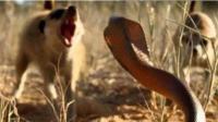 眼镜蛇的确凶猛 却不是它们的对手 天生对毒免疫