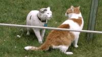 草地上两只猫打架, 最狠的手法就是拔对方的毛, 太凶残了