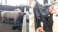 500斤公猪咬死猪贩 下獠牙有6厘米