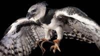 它是空中美洲豹 爪子可刺穿厚铁板 没有天敌 最喜欢吃猴子