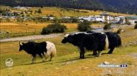 爱上文旅第8期: 林芝市鲁朗小镇风光很有特色, 堪称世界级, 非常美 司南传 西藏之旅