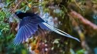 """谁说""""无脚鸟""""不存在? 有种鸟在空中睡觉, 最长10个月不落地"""
